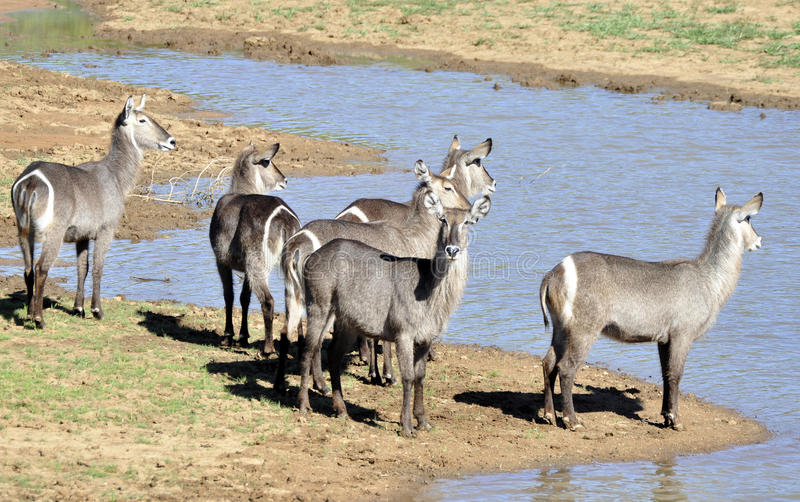 Waterbuck. At the side of a dam, South Africa stock photography