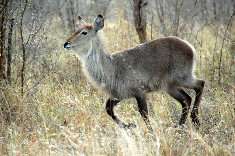 waterbuck royaltyfri foto