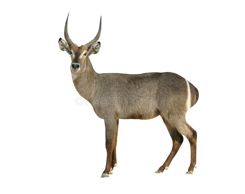 Waterbuck. Male waterbuck on white background royalty free stock photography