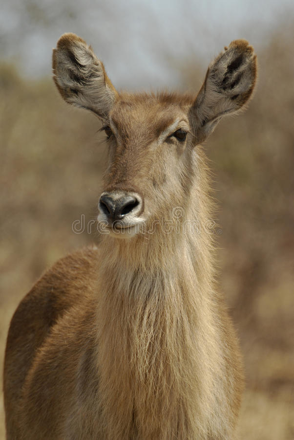 Waterbuck. Portrait of a female waterbuck (Kobus ellipsiprymnus). The picture was taken in Kruger National Park, South Africa royalty free stock image