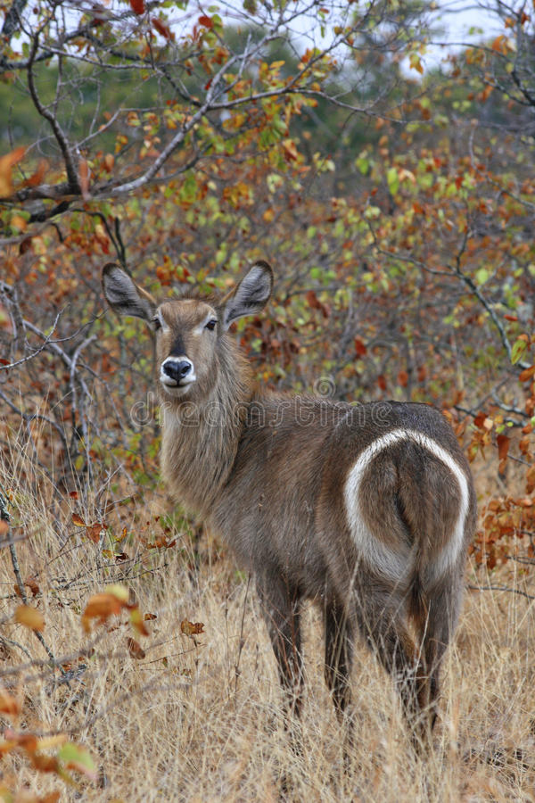 Waterbuck. In the african bush – Kruger National Park royalty free stock image