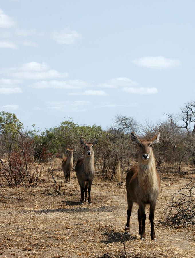 Waterbuck. Three femake waterbuck in a row. Picture was taken in Kruger National park, South Africa stock photo