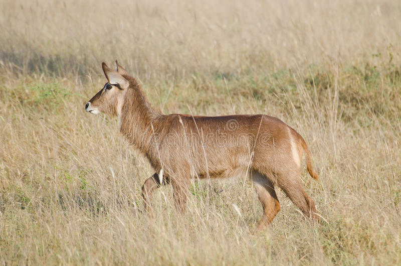 Waterbuck lizenzfreie stockfotos
