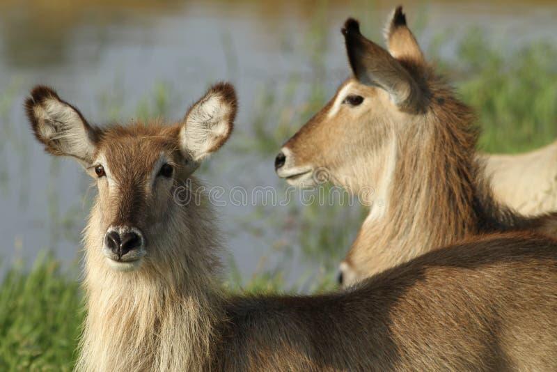 Waterbuck. Antelope in good morning light stock image