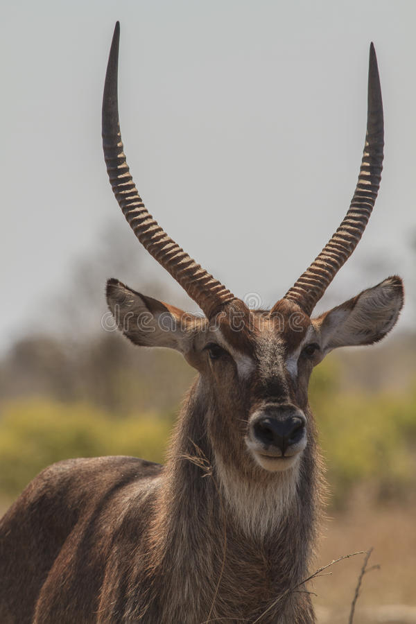 Waterbuck. A lone waterbuck with lovely horns royalty free stock images