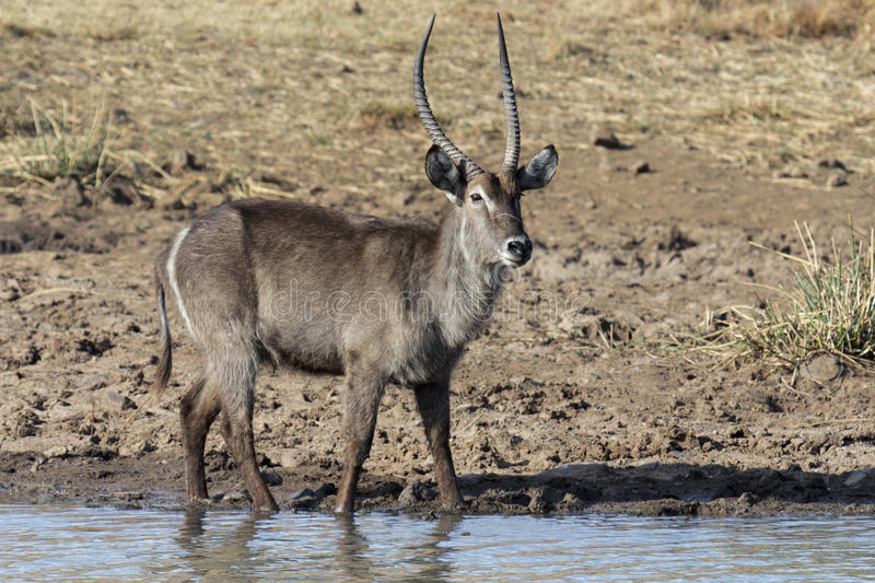 Waterbuck royaltyfri bild