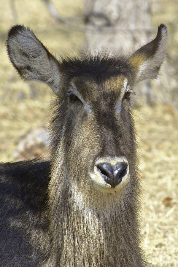 Waterbuck royalty-vrije stock afbeeldingen