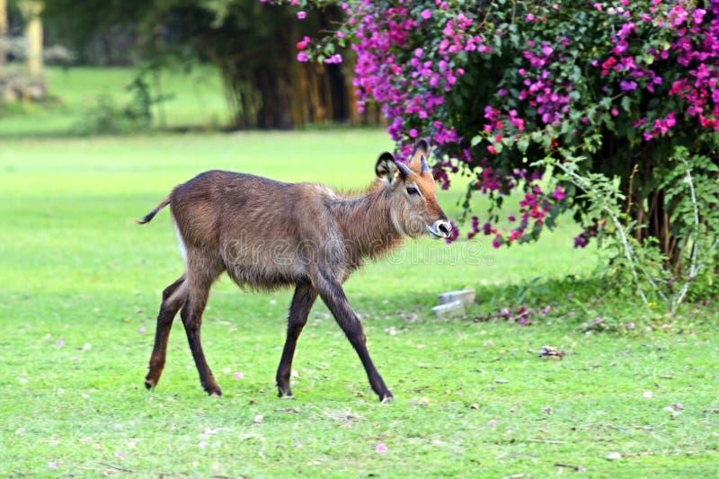 Download Waterbuck imagen de archivo. Imagen de animales, cubierta - 44851957