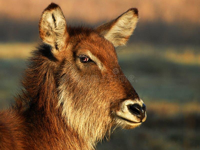 Waterbuck imagen de archivo libre de regalías