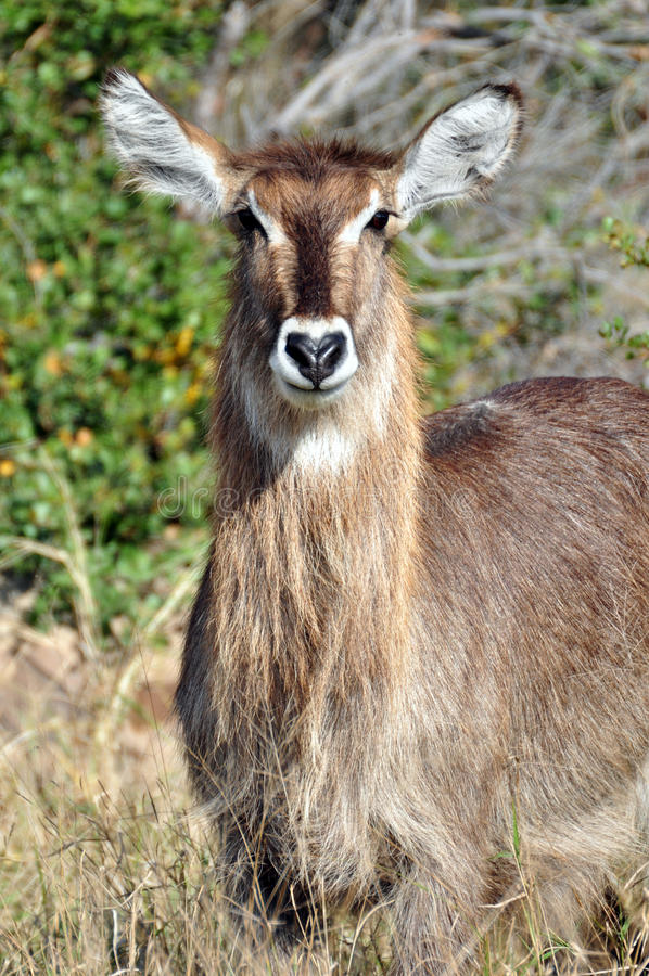 Waterbuck. A Waterbuck, photographed in the wild, South Africa royalty free stock photography