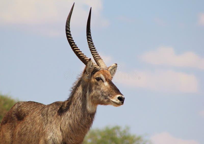 Waterbuck, Afryka - Byka Wybuch zdjęcie stock