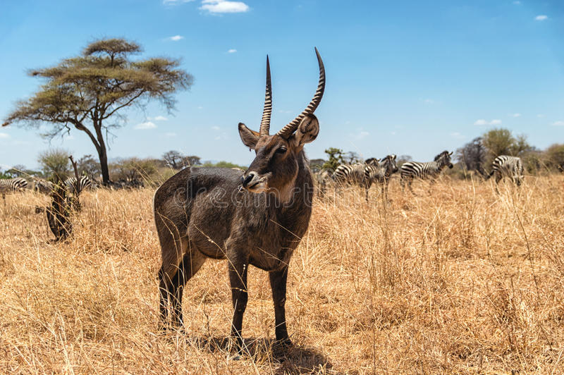 Waterbuck. Beautiful Waterbuck with zebras grazing in the background at Serengeti National Park, Tanzania royalty free stock photography