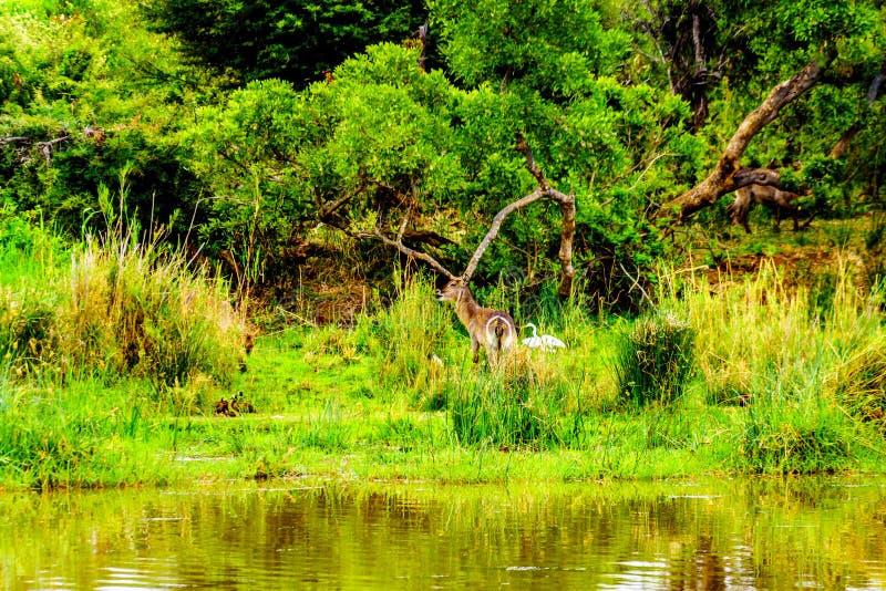 Waterbuck bij de Olifants-Rivier in het Nationale Park van Kruger in Zuid-Afrika royalty-vrije stock afbeeldingen