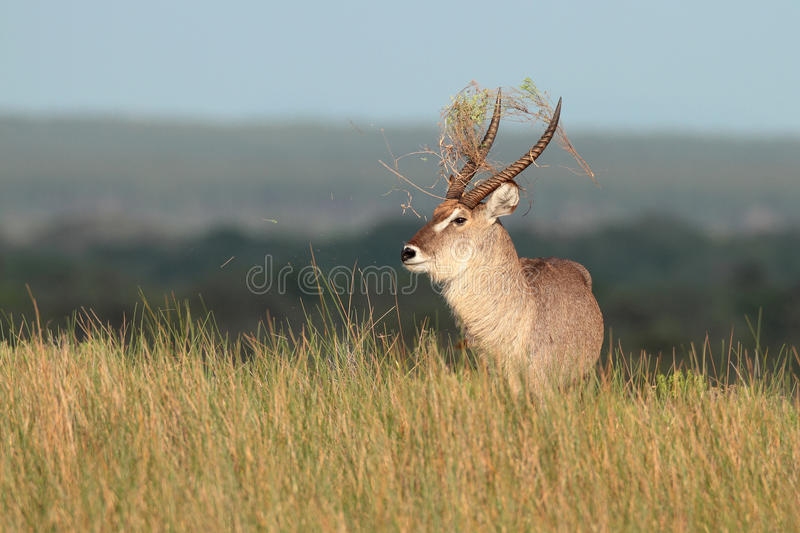Waterbuck Bull. Aggressive waterbuck bull flicking plants in the air with his horns royalty free stock images
