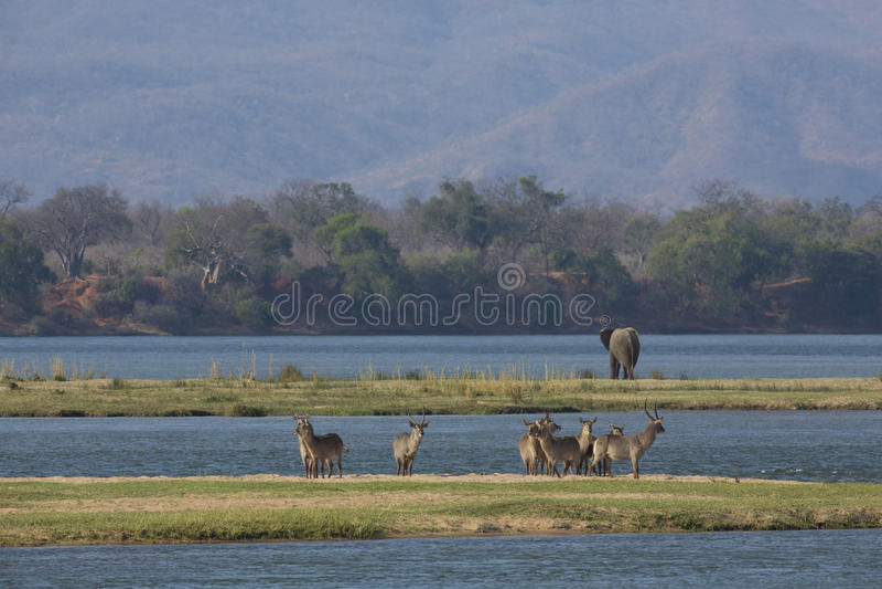 Waterbuck común y elefante por el río Zambezi imagen de archivo libre de regalías