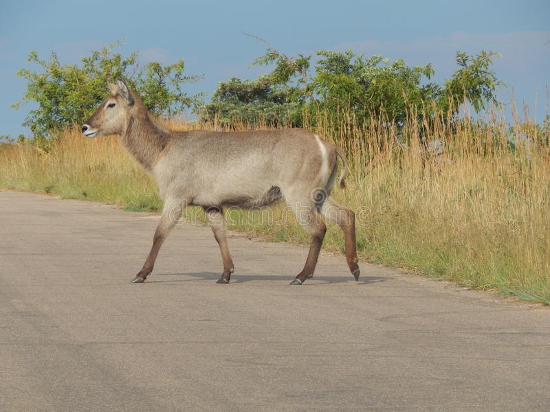 Waterbuck. Crossing the street in the Kruger National Park royalty free stock photo
