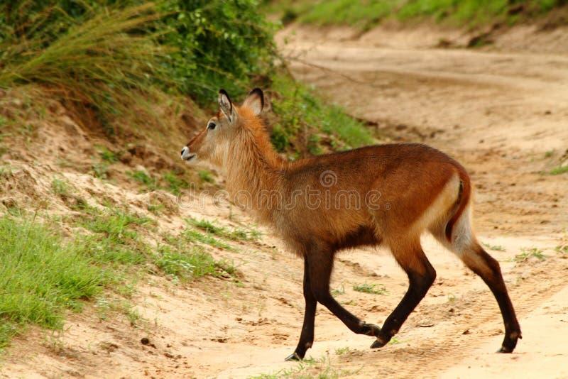 Waterbuck cruza a estrada foto de stock royalty free