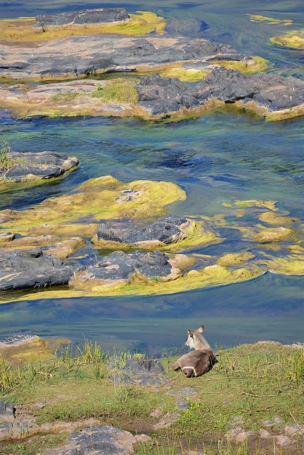 Waterbuck d'épi qui apprécie ce beau paysage image stock