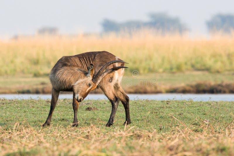 Waterbuck dans l'ornière image libre de droits
