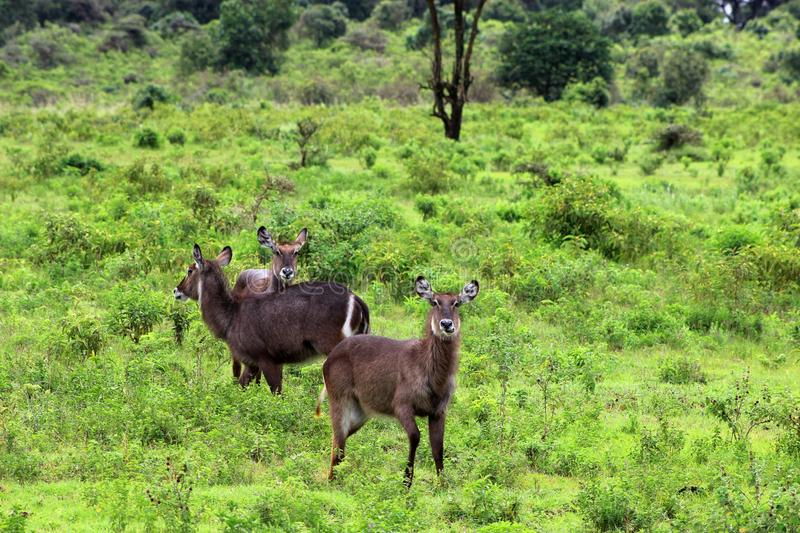 Waterbuck Deer, Tanzania. Waterbucks in Arusha national park. Waterbuck is a large antelope found widely in sub-Saharan Africa royalty free stock image