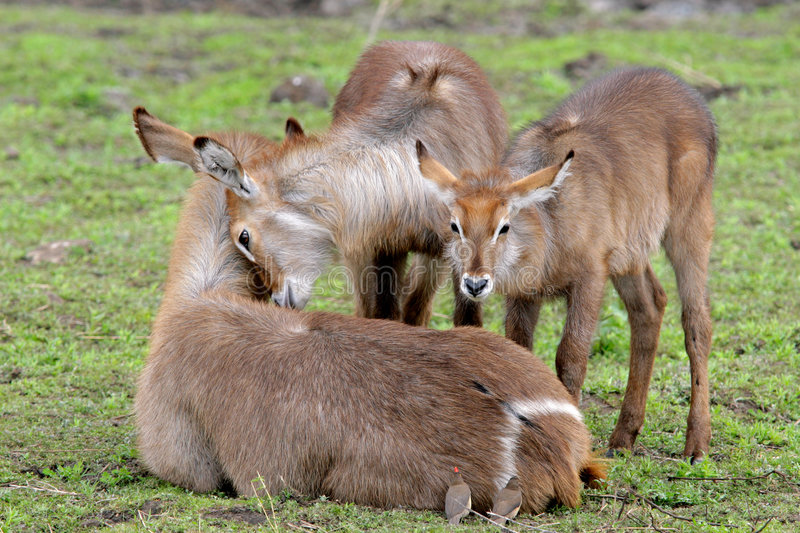 Waterbuck family. Waterbuck (Kobus ellipsiprymnus) with young calves, Kruger National Park, South Africa stock photography