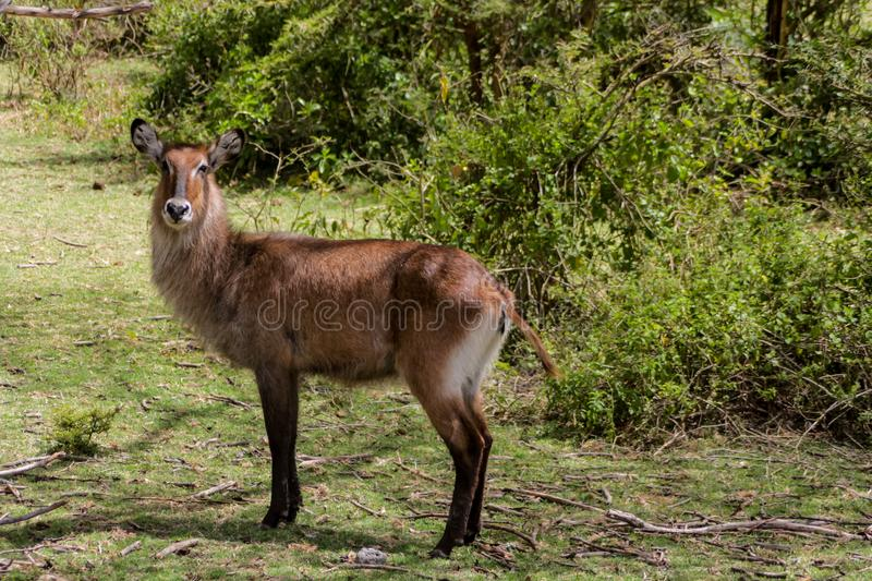 Waterbuck female in Africa wild nature forest stock images