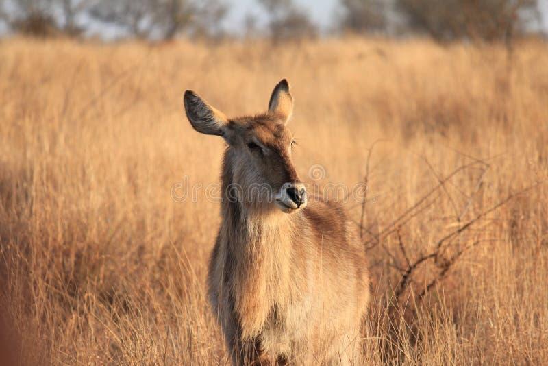 Waterbuck femelle dans la savane photos stock