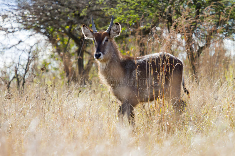 Waterbuck fotografierte in Tala Private Game Reserve in Südafrika lizenzfreie stockbilder