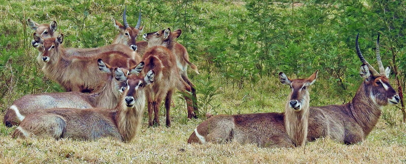 Waterbuck, group, herd. Group of waterbuck on the grasslands of Africa royalty free stock images