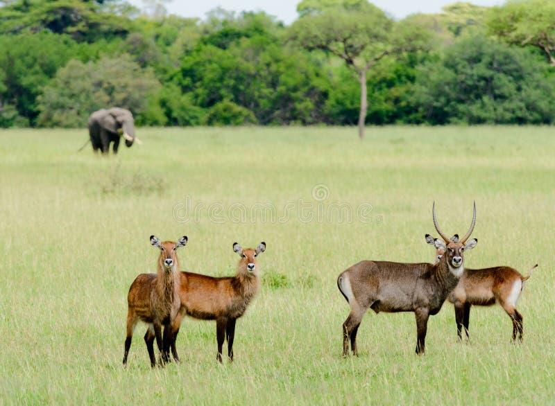 Waterbuck grupp i Serengetien royaltyfri foto