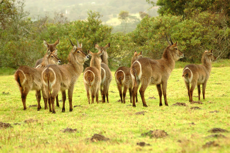 Waterbuck herd. A big herd of wild African Waterbuck standing together in the field and watching in a game park in South Africa royalty free stock photos