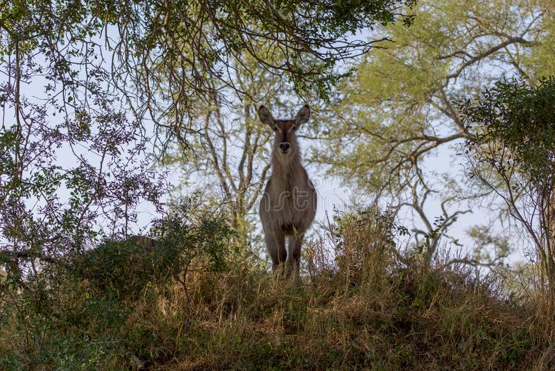 Waterbuck i den Kruger nationalparken royaltyfri bild