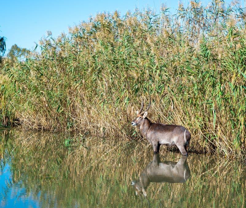 Waterbuck i en flod, Sydafrika royaltyfri fotografi