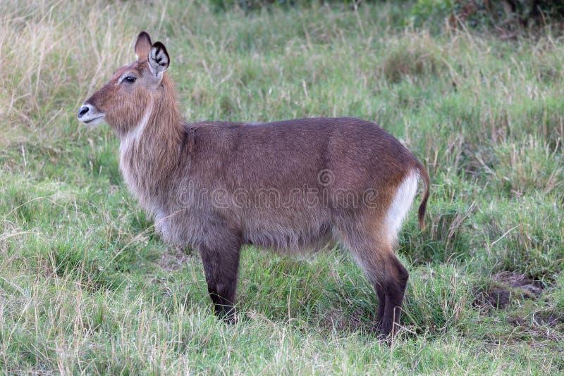 Waterbuck, Kenia, Afrika lizenzfreie stockfotografie