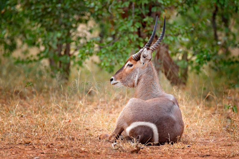 Waterbuck, Kobus ellipsiprymnus, large antelope in sub-Saharan Africa, detail face portrait. Nice African animal in the nature stock image