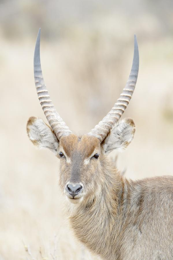Waterbuck male portrait, front view. royalty free stock image