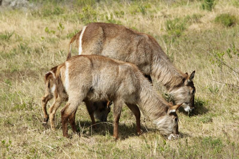 Waterbuck grazing. The waterbuck is a large antelope found widely in sub-Saharan Africa. It is placed in the genus Kobus of the family Bovidae royalty free stock photography