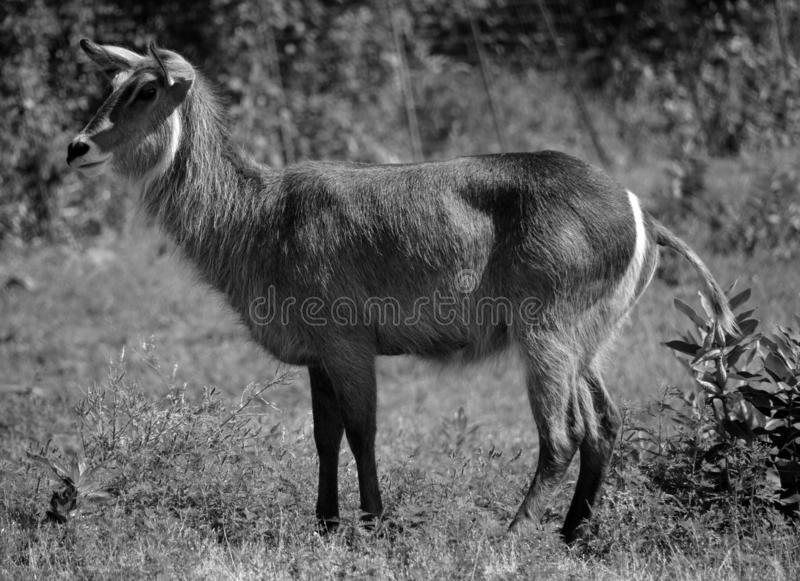 The waterbuck. Is a large antelope found widely in sub-Saharan Africa. It is placed in the genus Kobus of the family Bovidae stock photos