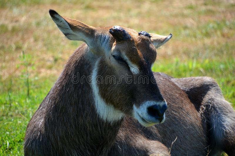 The waterbuck. Is a large antelope found widely in sub-Saharan Africa. It is placed in the genus Kobus of the family Bovidae stock image