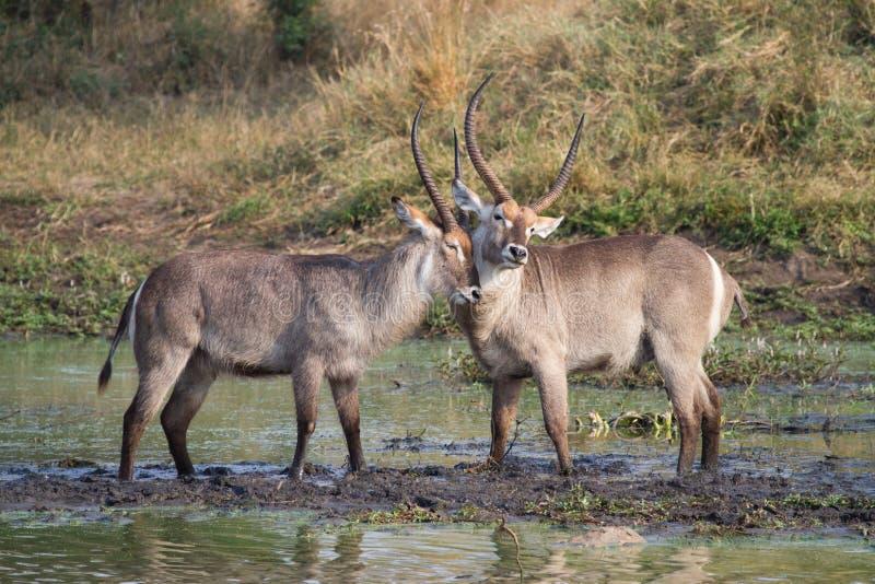 Download Waterbuck Männer stockbild. Bild von afrika, tiere, neigung - 26374851