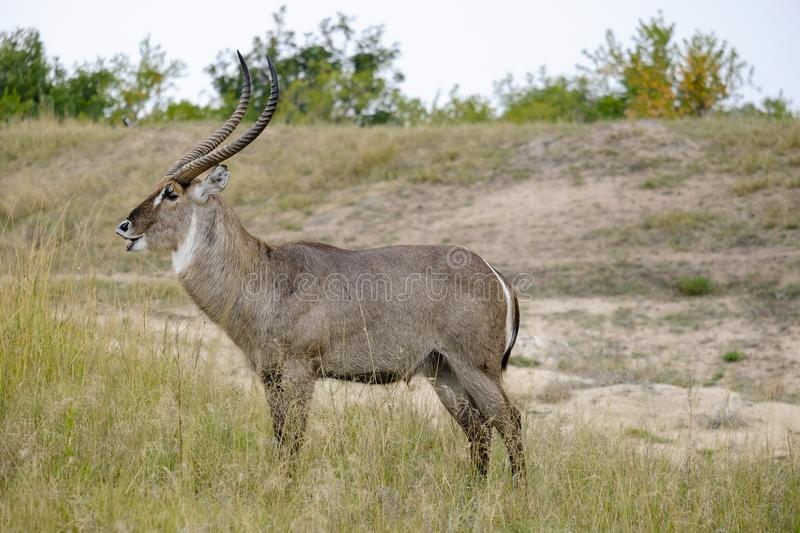 Waterbuck masculin africain montrant dans le sauvage photo stock