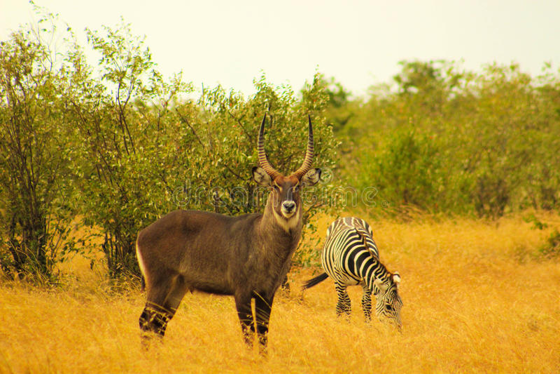 Waterbuck masculino que levanta com uma zebra fotografia de stock