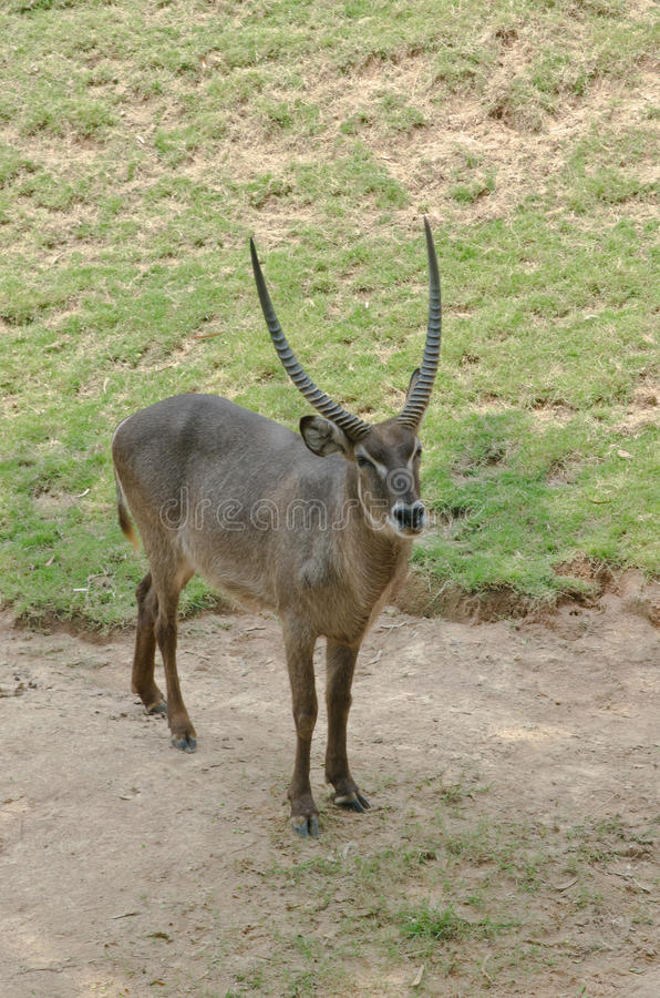 Waterbuck. On the Meadow royalty free stock image
