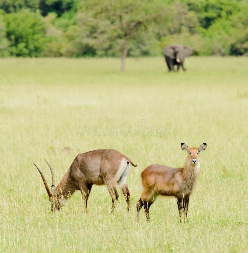 Waterbuck med en elefant i avståndet fotografering för bildbyråer