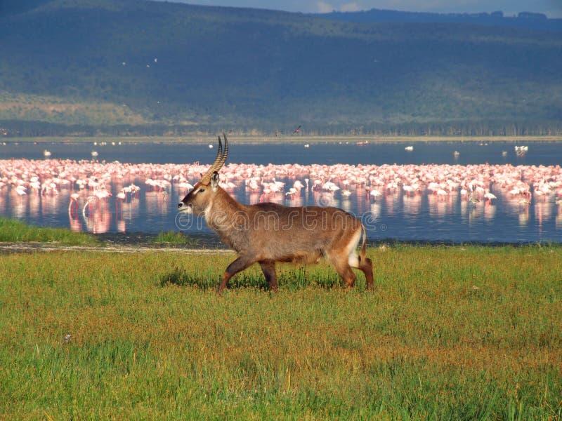 Waterbuck Nakuru   lizenzfreie stockbilder