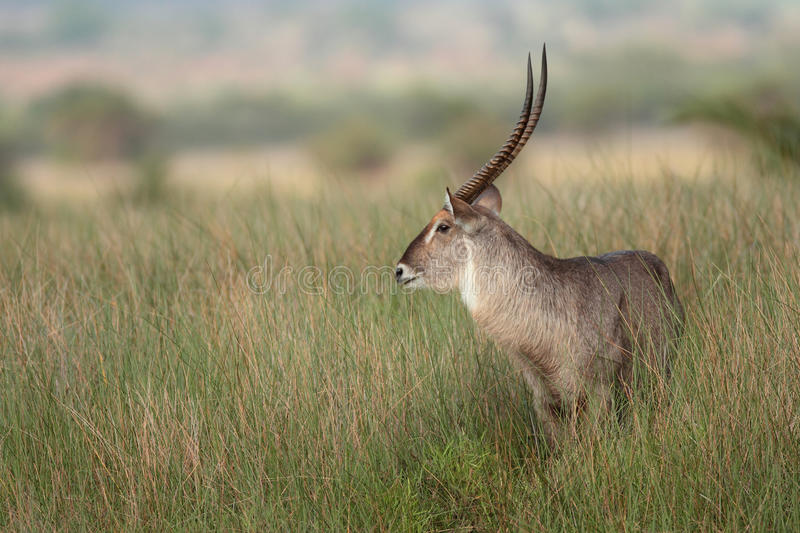 Waterbuck Portrait. Waterbuck in a field of tall grass royalty free stock images