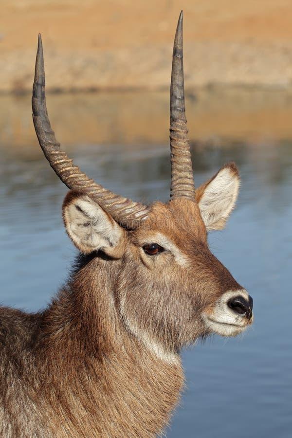Waterbuck Portrait lizenzfreie stockfotografie