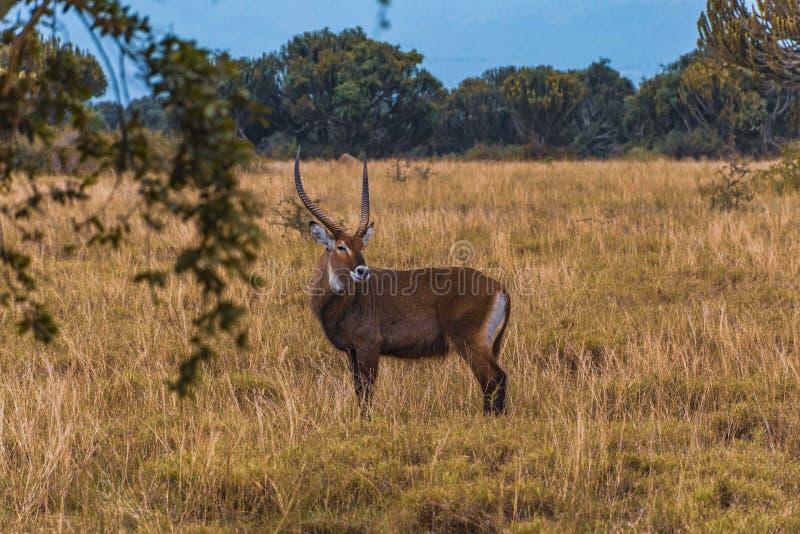 Waterbuck. In Queen Elizabeth National Park, Uganda royalty free stock photography