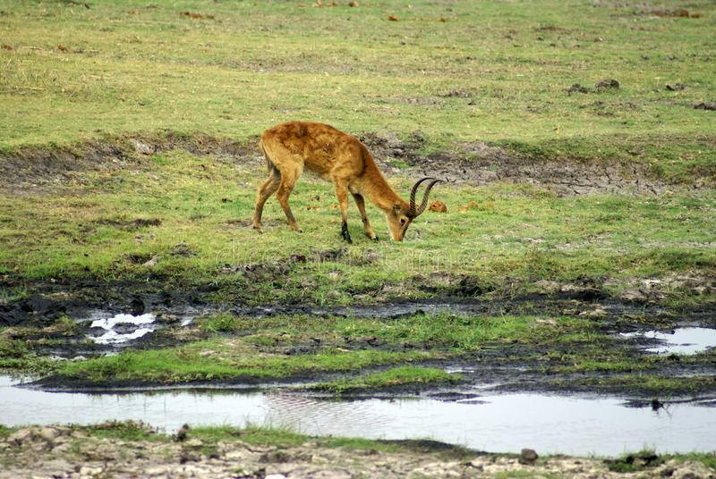 Waterbuck on the riverbank. Waterbuck grazing on a riverbank in Chobe National Park, Botswana stock photos