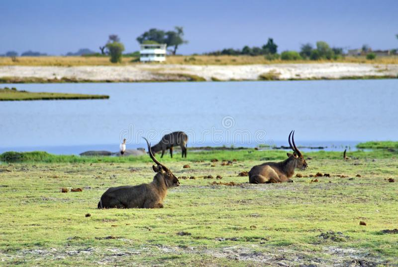 Waterbuck on the riverbank. Herd of waterbuck grazing on a riverbank in Chobe National Park, Botswana royalty free stock image